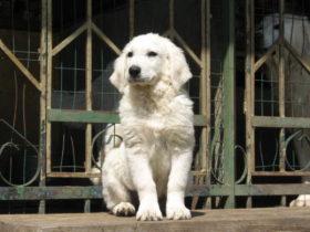 Собака для охраны дома