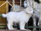 Подгалянская овчарка