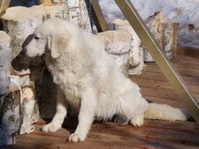 белая овчарка