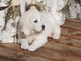 щенок белой овчарки